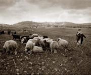 lambing-season-bethlehem