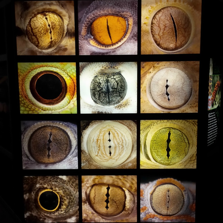 Geckos can have lots of different kinds of eyes