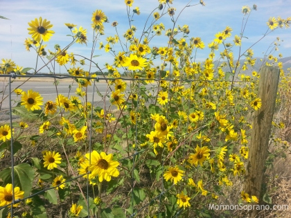 2014-09-13-sunflowers