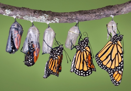 butterflies-in-cocoons-emerging